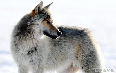 流窜的野狼还没有离开首都地区,在万塔和赫尔辛基北部发生多起目击报告