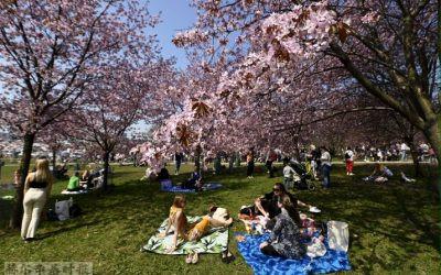 图片新闻:赫尔辛基樱花盛开,吸引大批市民欣赏