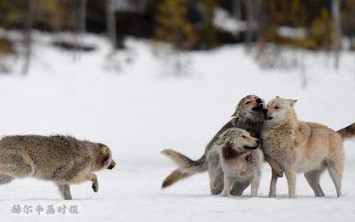 芬兰野生狼群的数量增长了16%