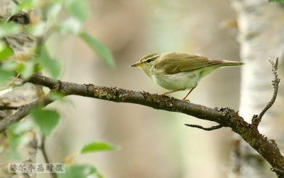 芬兰境内发现一种新鸟类,为欧洲地区首次发现