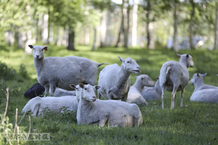 芬兰一旅游胜地的牧场遭狼群袭击,25只羊死亡