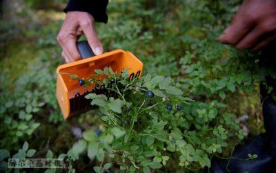 世界看芬兰:超级寄生蜂、治疗失明的黑科技、对外国浆果采摘劳工的剥削、太空研究